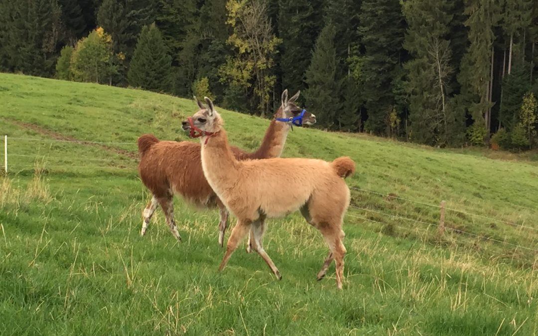 Lamas im Gern