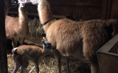 Ein Lama Baby!!