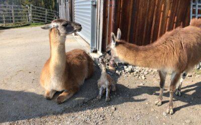 Das 2. Lama Baby ist da