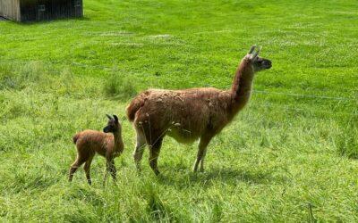 Die Lama Family wächst